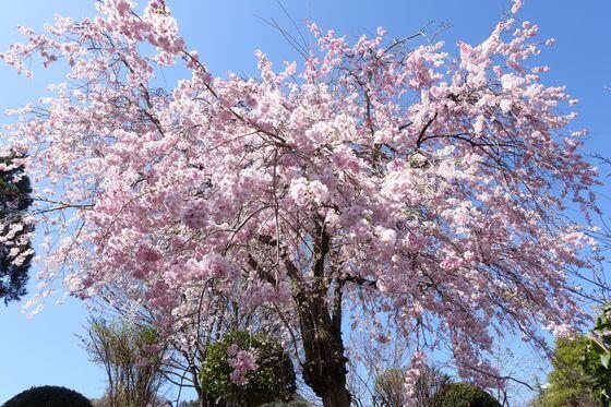 猿橋近隣公園 しだれ桜