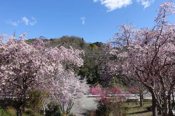 猿橋公園 枝垂れ桜