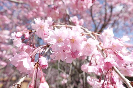 猿橋近隣公園 枝垂れ桜