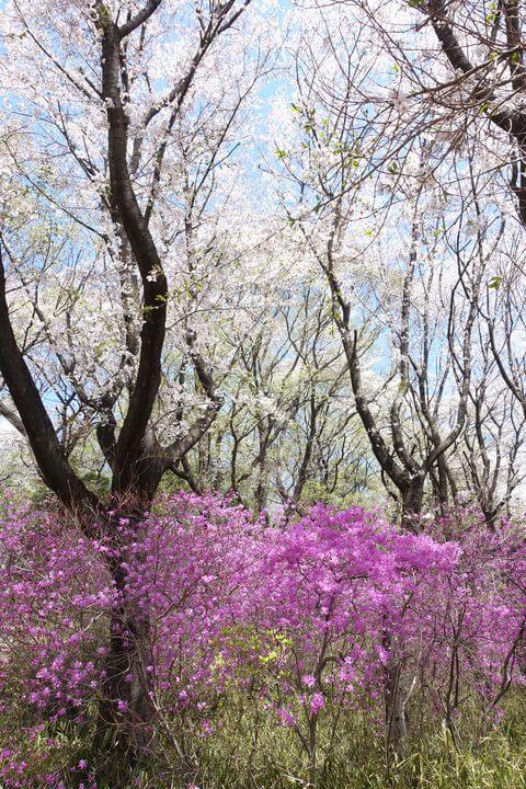 仙元山公園 躑躅