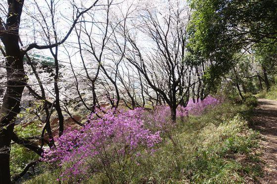 仙元山公園 ミツバツツジ 場所