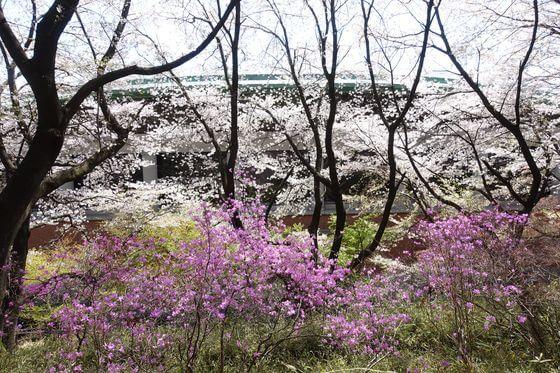 仙元山公園 つつじ