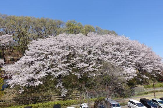 仙元山公園 桜