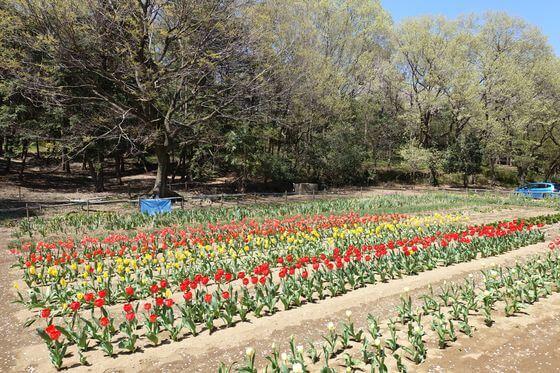 仙元山公園 チューリップ 場所
