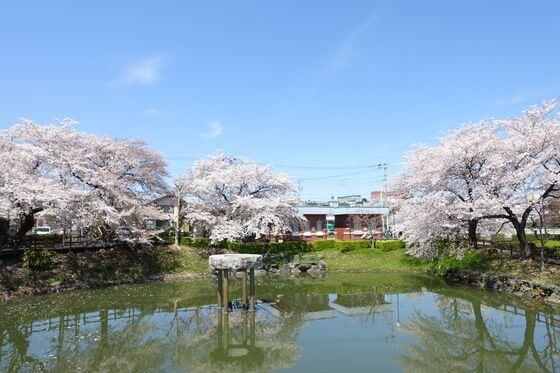 下台池公園 桜
