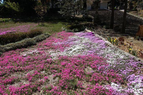 瀧之宮公園 シバザクラ