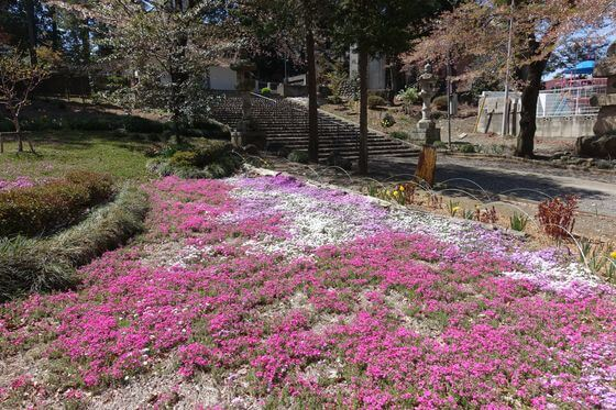 瀧之宮公園 深谷 芝桜