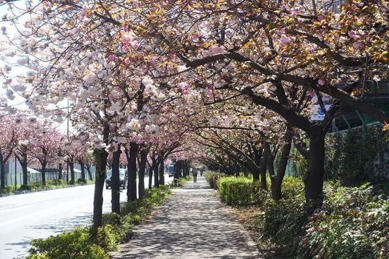 都市農業公園 桜並木