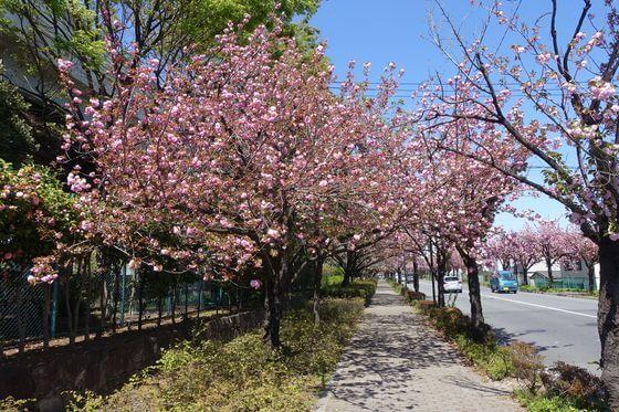 都市農業公園 桜並木 八重桜