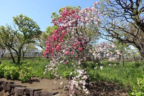 都市農業公園 花桃