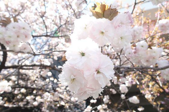 都市農業公園 八重桜