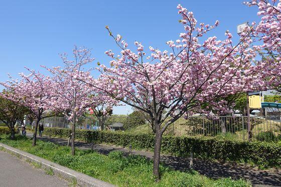 荒川 都市農業公園 桜