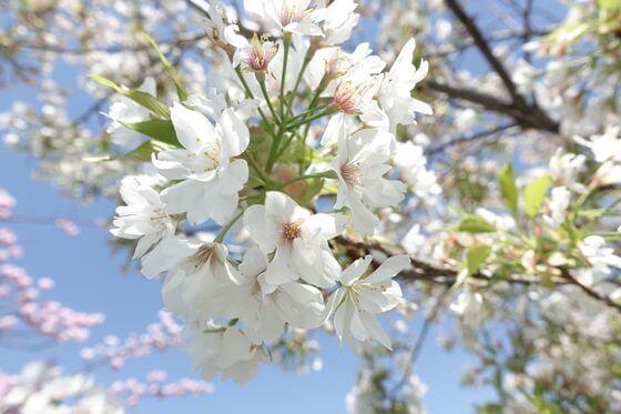 都市農業公園 桜 開花状況