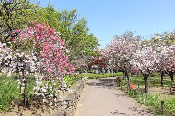 都市農業公園 桜 見頃