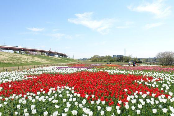 都市農業公園 チューリップ