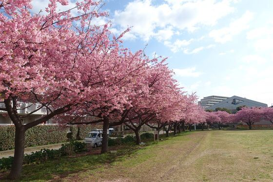 千葉県 河津桜
