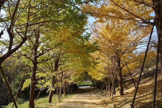 伊勢原市総合運動公園 イチョウ並木