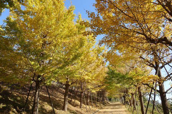 神奈川県 銀杏並木
