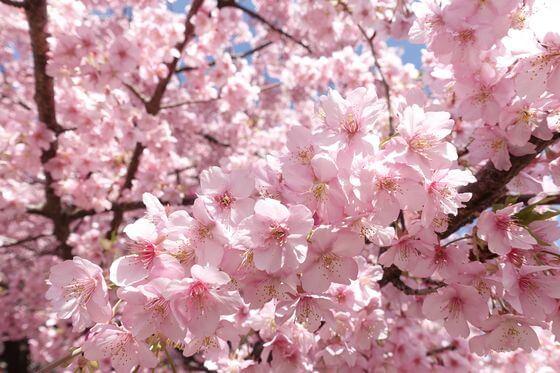 神奈川県 河津桜