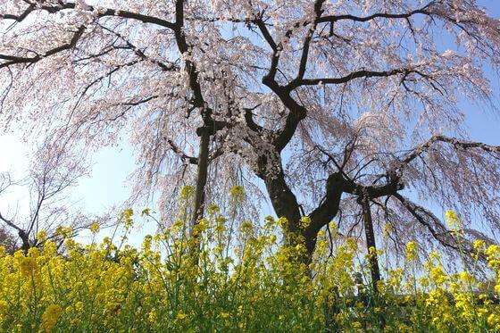 神奈川県 しだれ桜