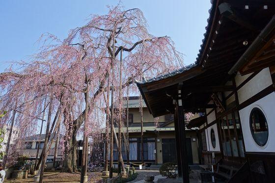 高楽寺 しだれ桜