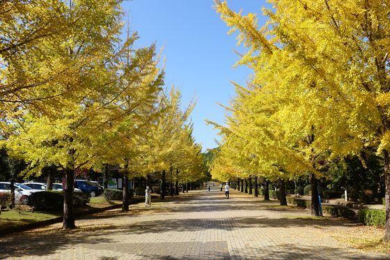 埼玉県 銀杏並木