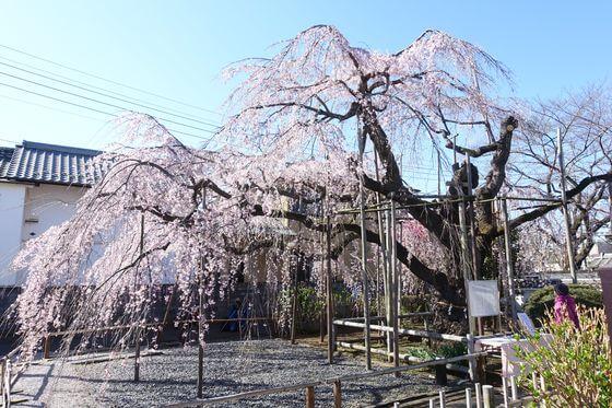ふじみ野市 枝垂れ桜