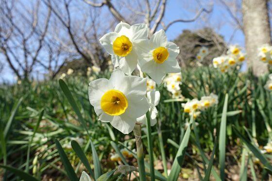 金沢自然公園 水仙