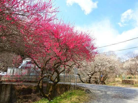 高尾 梅 開花