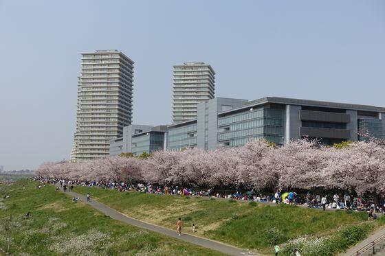 二十一世紀桜並木 大田区 桜