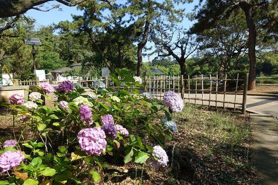 紫陽花 千葉公園