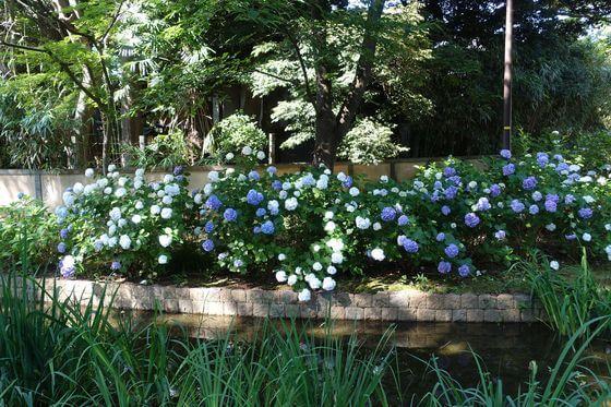 千葉公園 紫陽花