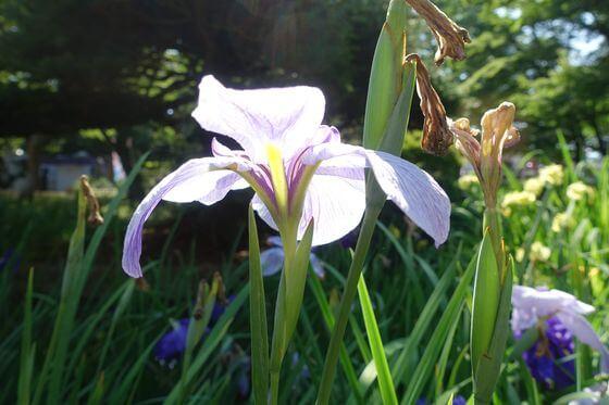 花しょうぶ 千葉公園