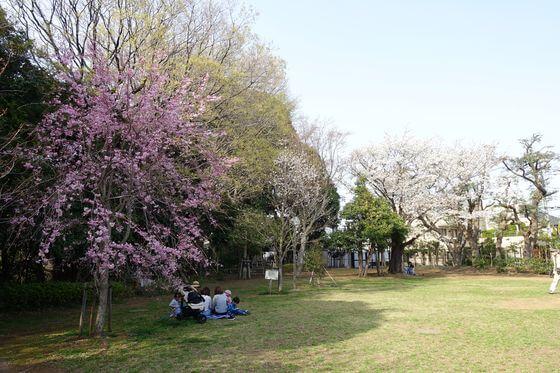 田園調布せせらぎ公園 大田区 桜