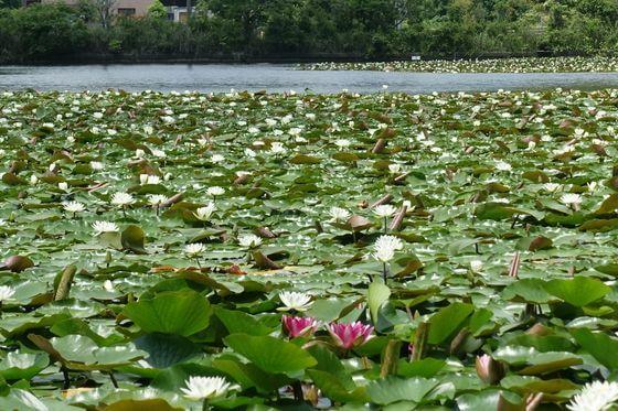千葉市昭和の森公園 睡蓮