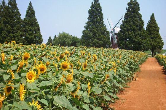 あけぼの山農業公園 向日葵