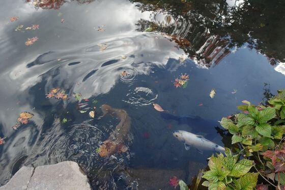 逍遥園 鯉