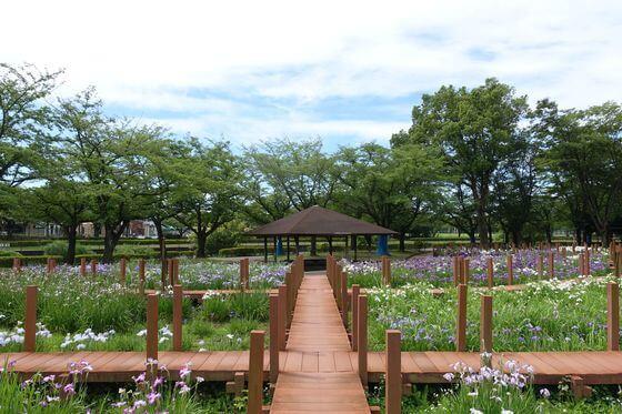 館林つつじが岡第二公園 花菖蒲