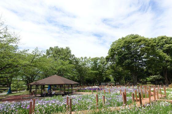 館林つつじが岡第二公園 花しょうぶ