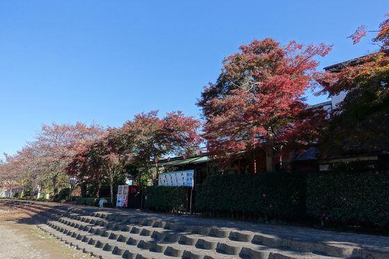 秋川橋河川公園 モミジ