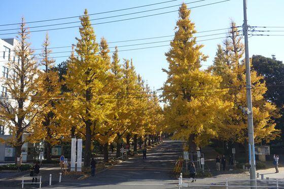 慶應日吉キャンパス イチョウ並木