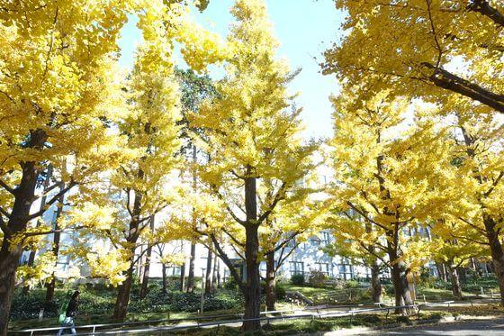 慶応 イチョウ並木