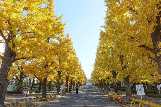 慶応 銀杏並木