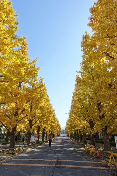 慶應 イチョウ並木