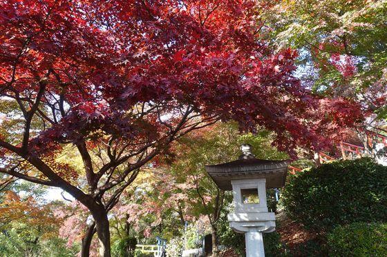 織姫神社 モミジ