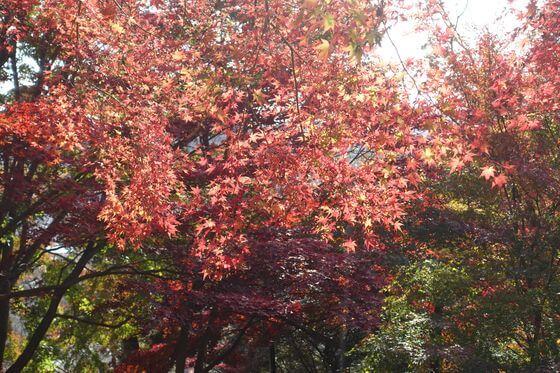 織姫神社 紅葉 現在