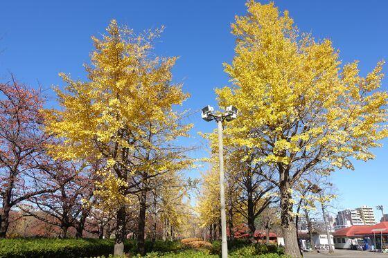 猿江恩賜公園 イチョウ並木