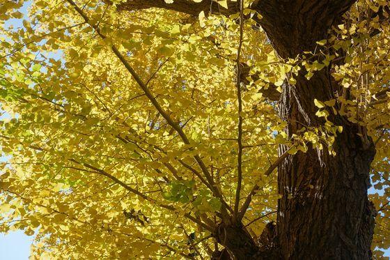 高尾 銀杏並木