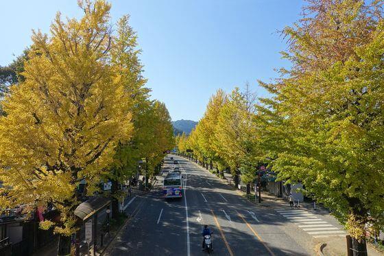 甲州街道 銀杏並木