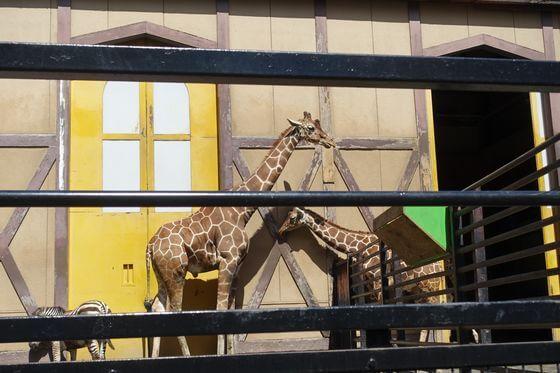 羽村市動物公園 キリン
